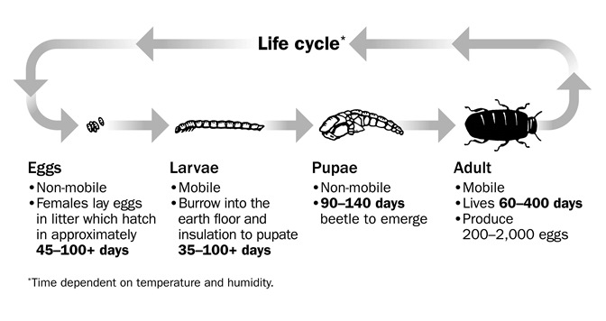 The life cycle of the darkling beetle.