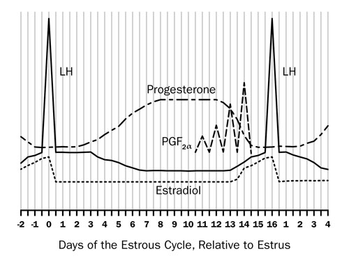Figure 1: This graph shows the hormones that are produced by a ewe throughout the estrus cycle. Day 0, luteinizing hormone is at its peak, Day 4 of the cycle, progesterone starts to rise and, if a pregnancy is not established, Day 10 prostaglandin F2alpha will be produced by the uterus.  Day 13 estradiol will start to increase, peaking at Day 16.