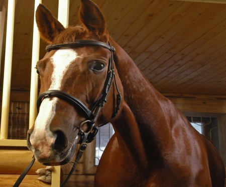 Horse wearing bridle standing in stable