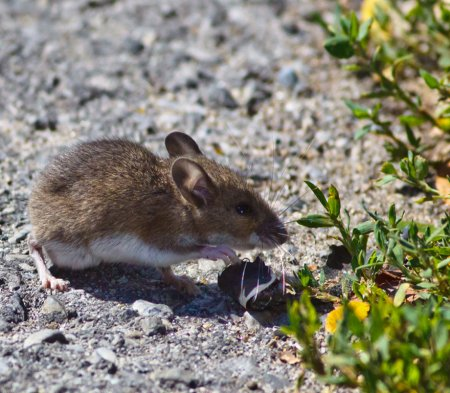 White-footed mouse nibbling on plant