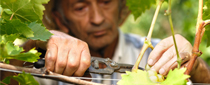 photo of man working with grapes