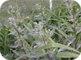 If weeds (like this Canada Thistle) are at susceptible stages, apply glyphosate at the higher rates.
