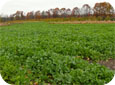 Mustard cover crops provide nematode suppression when the fresh green crop residues are incorporated.