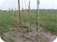 The Tall Spindle system requires branches tied down to induce fruiting.